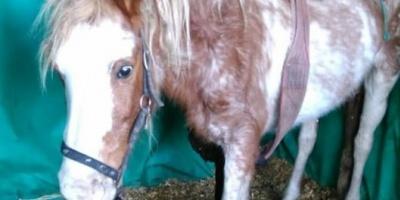 Maltrato animal en Ezeiza: investigan la trama detrás de los 400 caballos desnutridos